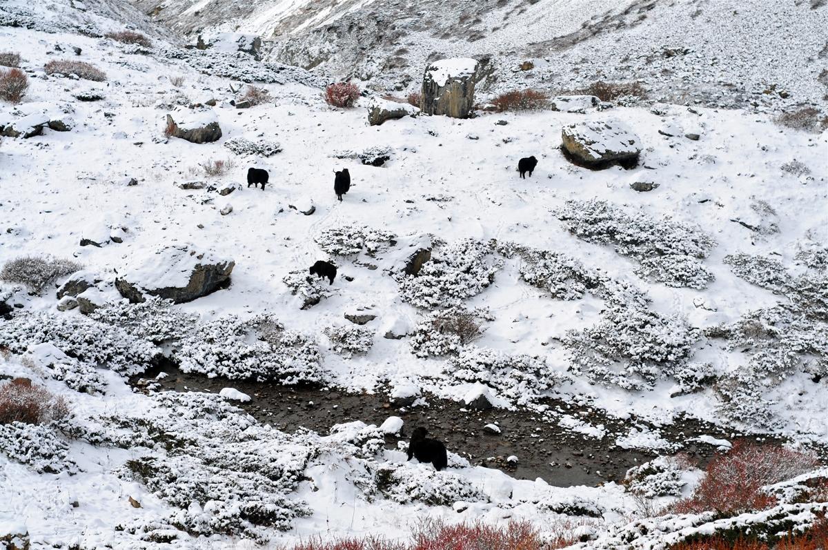 snow-yak