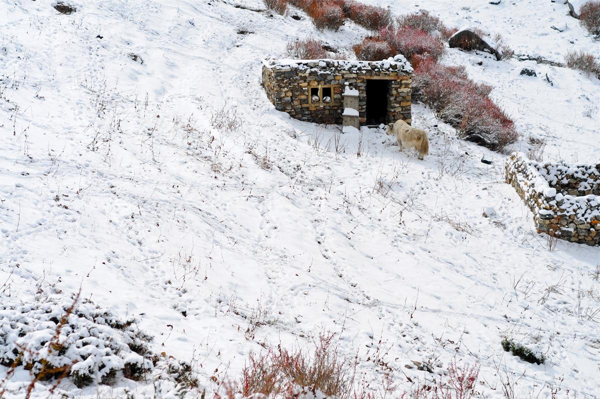 snow-yak1